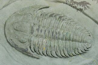 "2"" Lower Cambrian Trilobite (Longianda) - Issafen, Morocco For Sale, #170768"