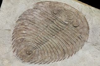 "5.1"" Gigantopygus Trilobite With Pos/Neg - Issafen, Morocco For Sale, #171026"