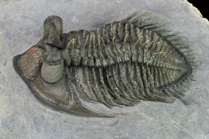 "2.45"" Tower-Eyed, Erbenochile Trilobite From Ou Driss - Top Quality!"