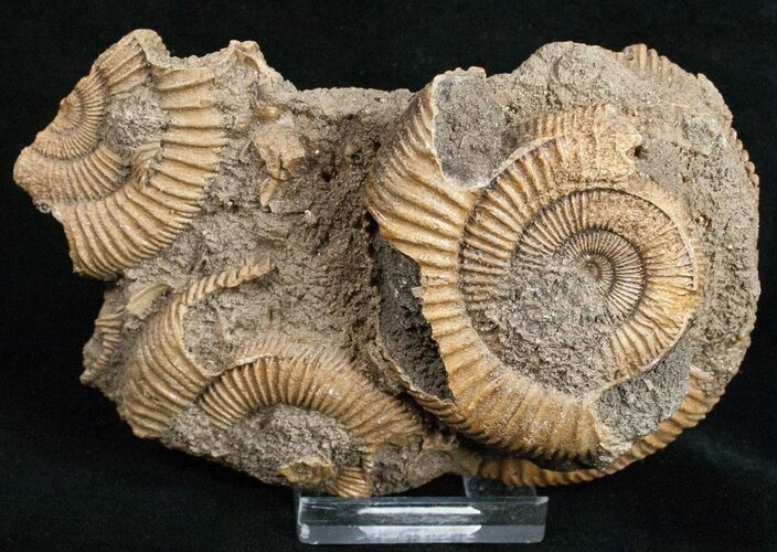 Dactylioceras Ammonite Cluster - Germany