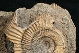 Dactylioceras Ammonite Cluster - Germany - #11182-1