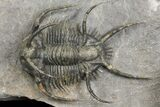 "1.75"" Ceratarges Trilobite With Spines-On-Spines - Zireg, Morocco - #171023-2"