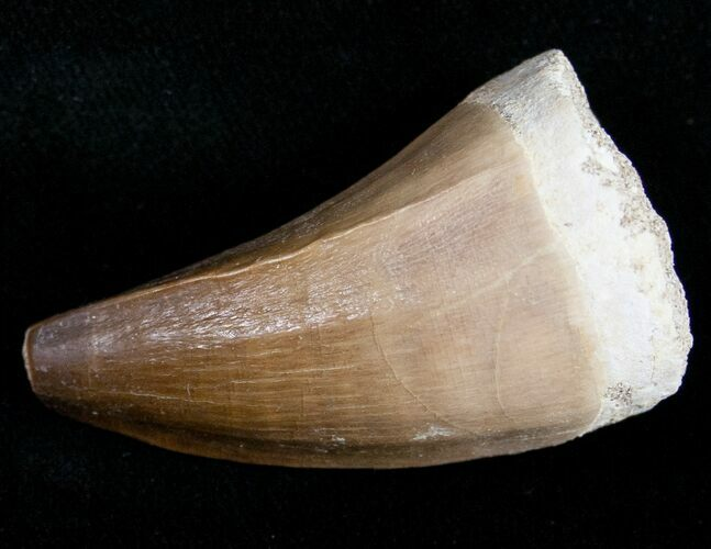 "1.9"" Mosasaur Tooth - Cretaceous Reptile"