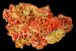 "1.35"" Bright Orange Crocoite Crystal Cluster - Tasmania For Sale, #171716"