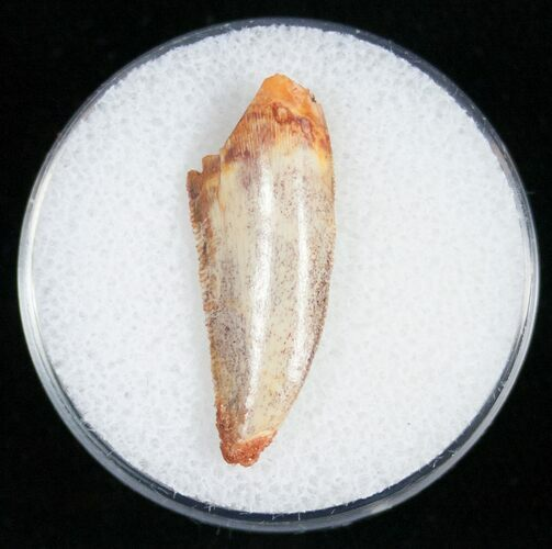 Raptor Tooth From Morocco - 1.02""