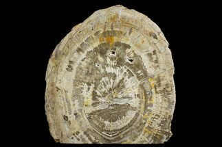 "11.9"" Brown, Petrified Wood (Araucarioxylon) Stand-up - Arizona For Sale, #172121"