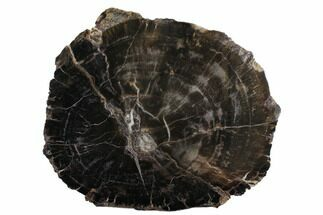"11.2"" Triassic Petrified Wood (Conifer) Slab - Utah For Sale, #172019"