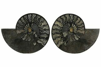 "Buy 10.25"" Cut & Polished Ammonite Fossil - Unusual Black Color - #172450"