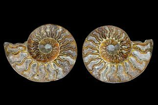 Cleoniceras sp. - Fossils For Sale - #166779