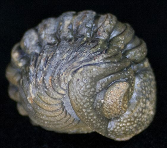 Bumpy, Enrolled Barrandeops (Phacops) Trilobite