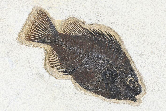 "5.1"" Fossil Fish (Cockerellites) - Green River Formation"
