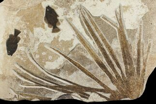 "36.5"" Fossil Palm Frond and Two Fish (Priscacara) Plate - Wyoming For Sale, #172949"