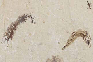 Pseudosculda laevis (Shrimp) & Unidentified Fish - Fossils For Sale - #173127