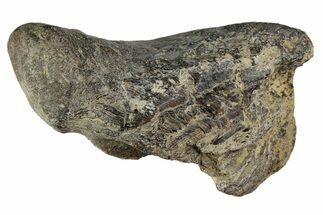 "Buy 1.8"" Fossil Enchodus Jaw Section - Texas - #164788"