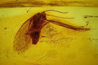 Fossil Adult (Imago) Moth (Lepidoptera) in Baltic Amber For Sale, #173645
