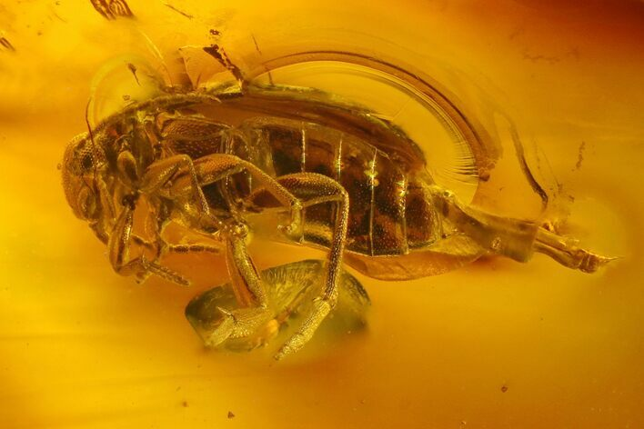 Detailed Fossil Beetle in Baltic Amber