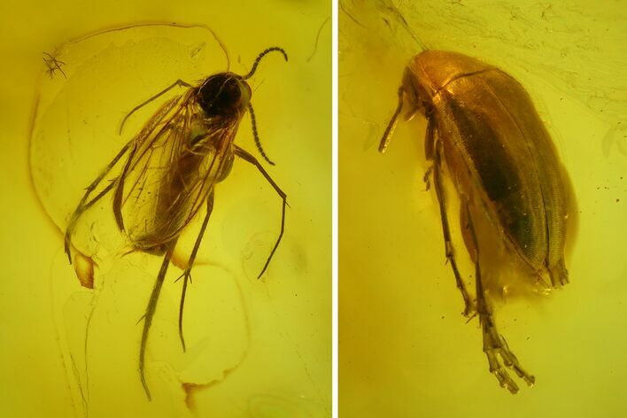 Fossil Fly (Diptera) and Beetle (Coleoptera) In Baltic Amber