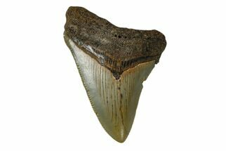"2.93"" Juvenile Megalodon Tooth - North Carolina For Sale, #172652"