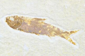 "Buy 2.9"" Detailed Fossil Fish (Knightia) - Wyoming - #173755"