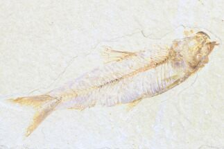 "Buy 3.8"" Detailed Fossil Fish (Knightia) - Wyoming - #173737"