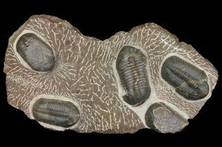 Struveaspis sp. - Fossils For Sale - #174195