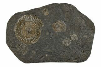 "9.3"" Dactylioceras Ammonite Cluster - Posidonia Shale, Germany For Sale, #174251"