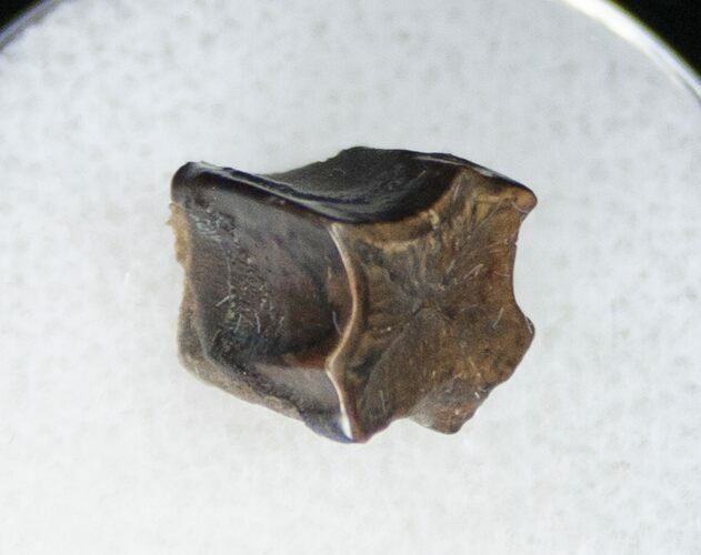 Edmontosaurus (Duck-Billed Dinosaur) Shed Tooth