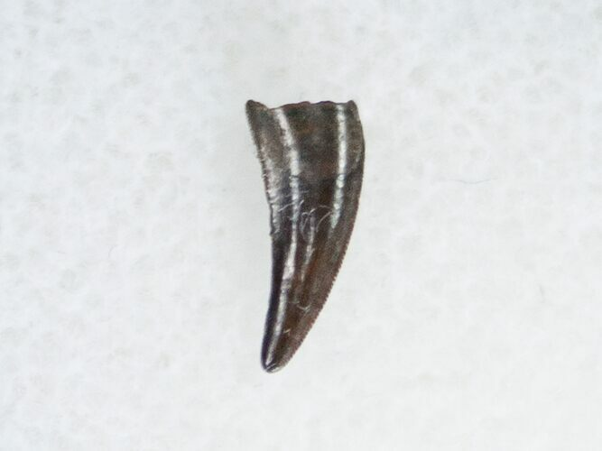 Richardoestesia Raptor Tooth From Montana