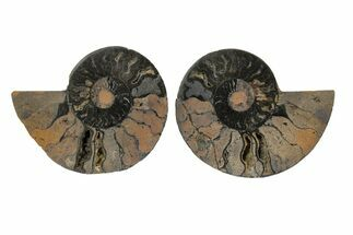 Cleoniceras - Fossils For Sale - #165663