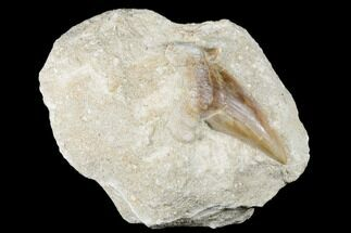 "3.1"" Otodus Shark Tooth Fossil in Rock - Eocene For Sale, #174161"