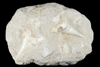 Two Large Otodus Shark Teeth in Rock - Eocene For Sale, #174182