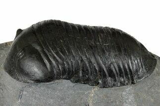 "3.5"" Inflated Wenndorfia Trilobite - Bou Lachrhal, Morocco For Sale, #174860"