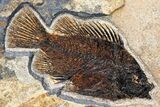 "43"" Fossil Fish ""Mural"" With Giant Phareodus - Kemmerer, Wyoming - #174913-11"