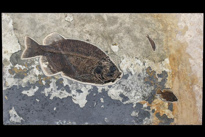 "43"" Fossil Fish ""Mural"" With Giant Phareodus - Kemmerer, Wyoming"