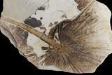 "47"" Wide Fossil Fish & Palm Mural - Green River Formation, Wyoming - #174921-4"