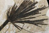 "42"" Wide Fossil Fish & Palm Mural - Green River Formation, Wyoming - #174925-4"