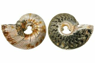 "2.5"" One Side Polished, Pyritized Fossil, Ammonite - Russia For Sale, #174980"