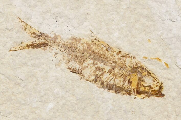 "Bargain, 3.2"" Detailed Fossil Fish (Knightia) - Wyoming"
