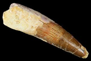 "2.55"" Spinosaurus Tooth - Real Dinosaur Tooth For Sale, #174779"