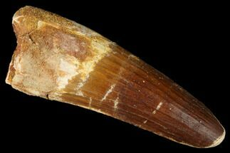 "3.40"" Spinosaurus Tooth - Real Dinosaur Tooth For Sale, #175295"