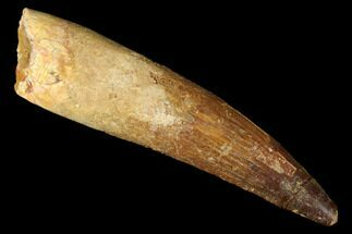 "Buy Bargain, 3.78"" Real Spinosaurus Tooth - Reconstructed Root Area - #175312"
