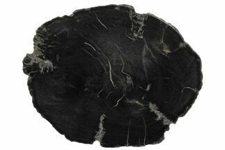 "Buy 6.1"" Black, Polished Petrified Wood (Araucaria) Round - Arizona - #175273"