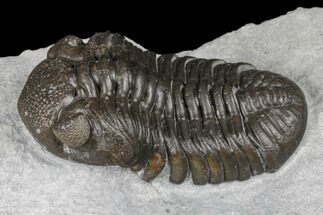 "Monster, 3.2"" Eldredgeops Trilobite - Sylvania, Ohio For Sale, #175643"