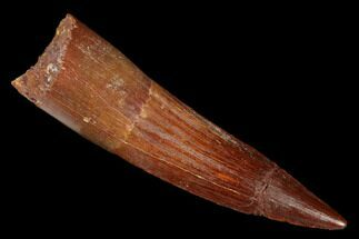 "Bargain, 2.31"" Spinosaurus Tooth - Composite Tip For Sale, #176687"