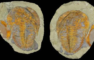 Cambropallas telesto - Fossils For Sale - #175032