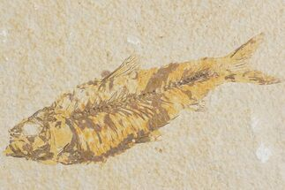 "4.4"" Detailed Fossil Fish (Knightia) - Wyoming For Sale, #176405"