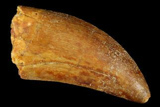 "1.8"" Serrated, Carcharodontosaurus Tooth - Real Dinosaur Tooth For Sale, #176732"