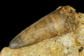 "1.2"" Rare, Cretaceous Crocodile (Goniopholis) Tooth in Situ - England For Sale, #177062"