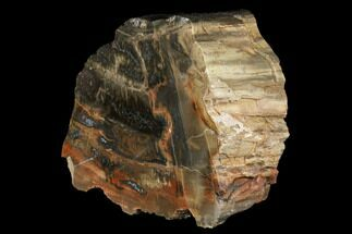 "Buy 5.5"" Polished, Petrified Wood (Araucarioxylon) - Red and Black - #176986"