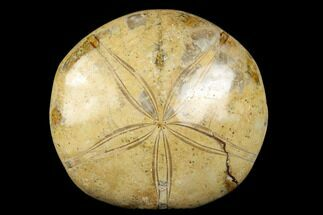 "3.9"" Polished Fossil Sand Dollar (Mepygurus) - Jurassic For Sale, #176507"